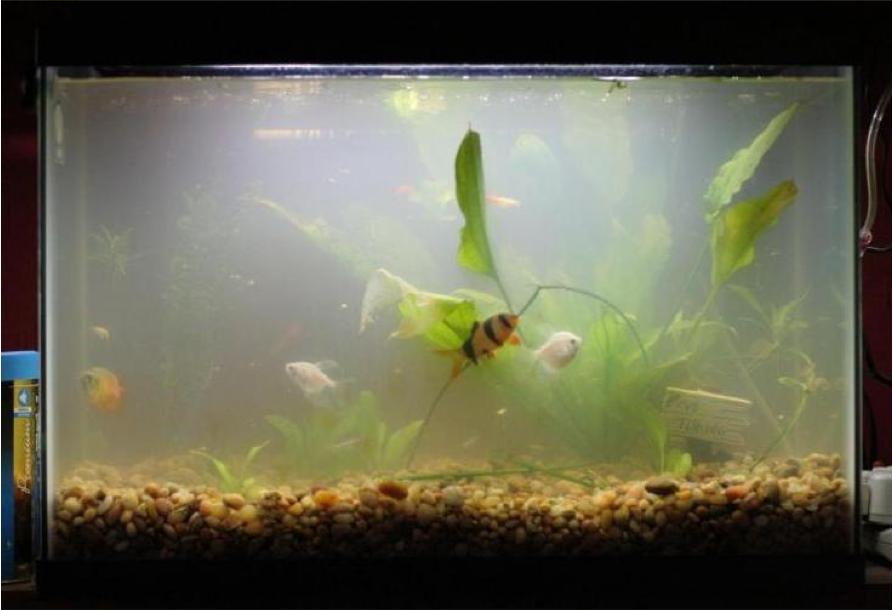 The war on algae miyabi aqua design for Dirty fish tank